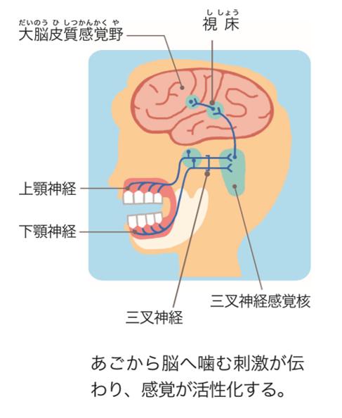 歯を使って「よく噛む」ことが 全身にもたらすもの